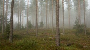 Fog_in_a_forest,_Telemark_2
