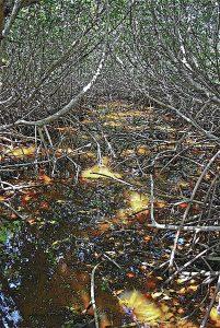 mangrove maze